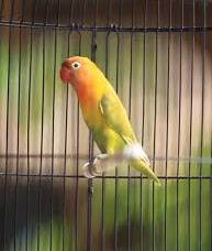lovebird roro, suara lovebird ror
