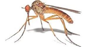 traitements bios comment combattre les moustiques naturellement durant l t. Black Bedroom Furniture Sets. Home Design Ideas