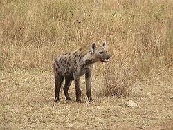 تعرف على حيوان الضبع وماهى صفاته hyaena