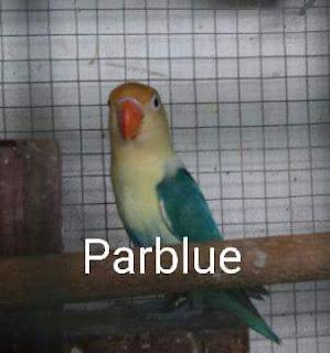 cara mudah mencetak lovebird parblue lovebirdseo