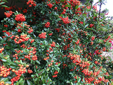 Arbustos que florecen en invierno for Porque hay arboles de hoja perenne