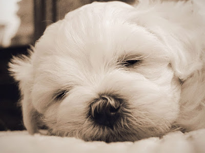 bichon-maltes-wallpaper