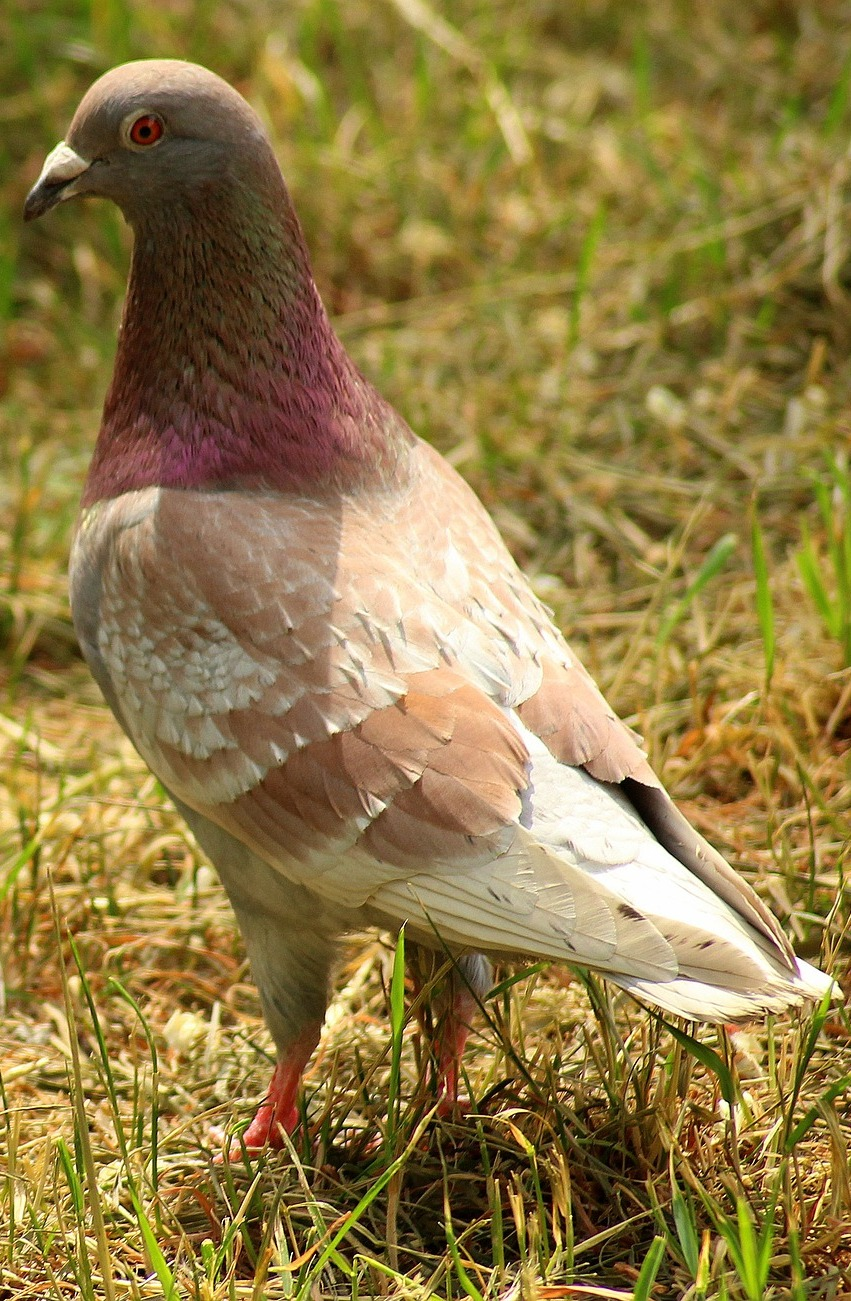 Picture of a colorful dove.