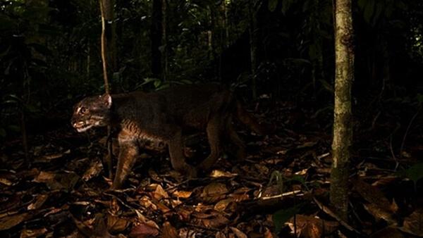 mitos hutan kalimantan