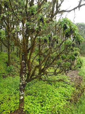 Scalesia pedunculata