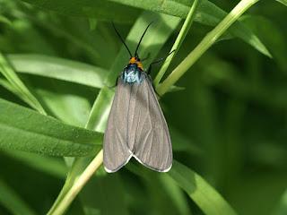 Ctenucha virginica - Cténuche de Virginie