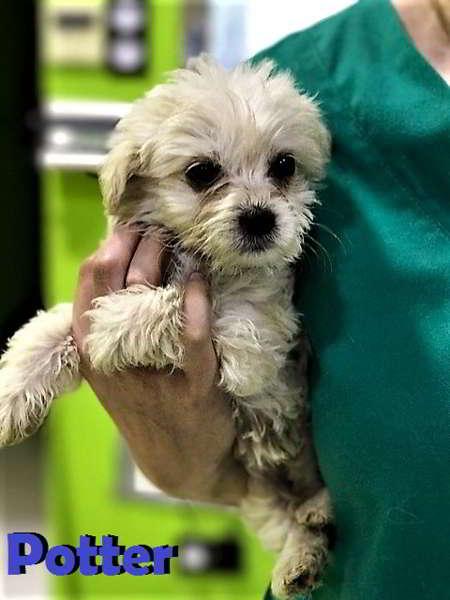 cachorro de tamaño miniatura
