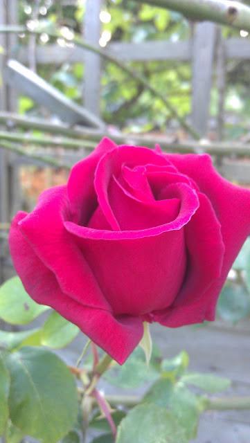 rose velvet pink
