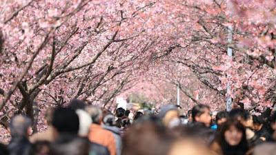 Bungas Sakura