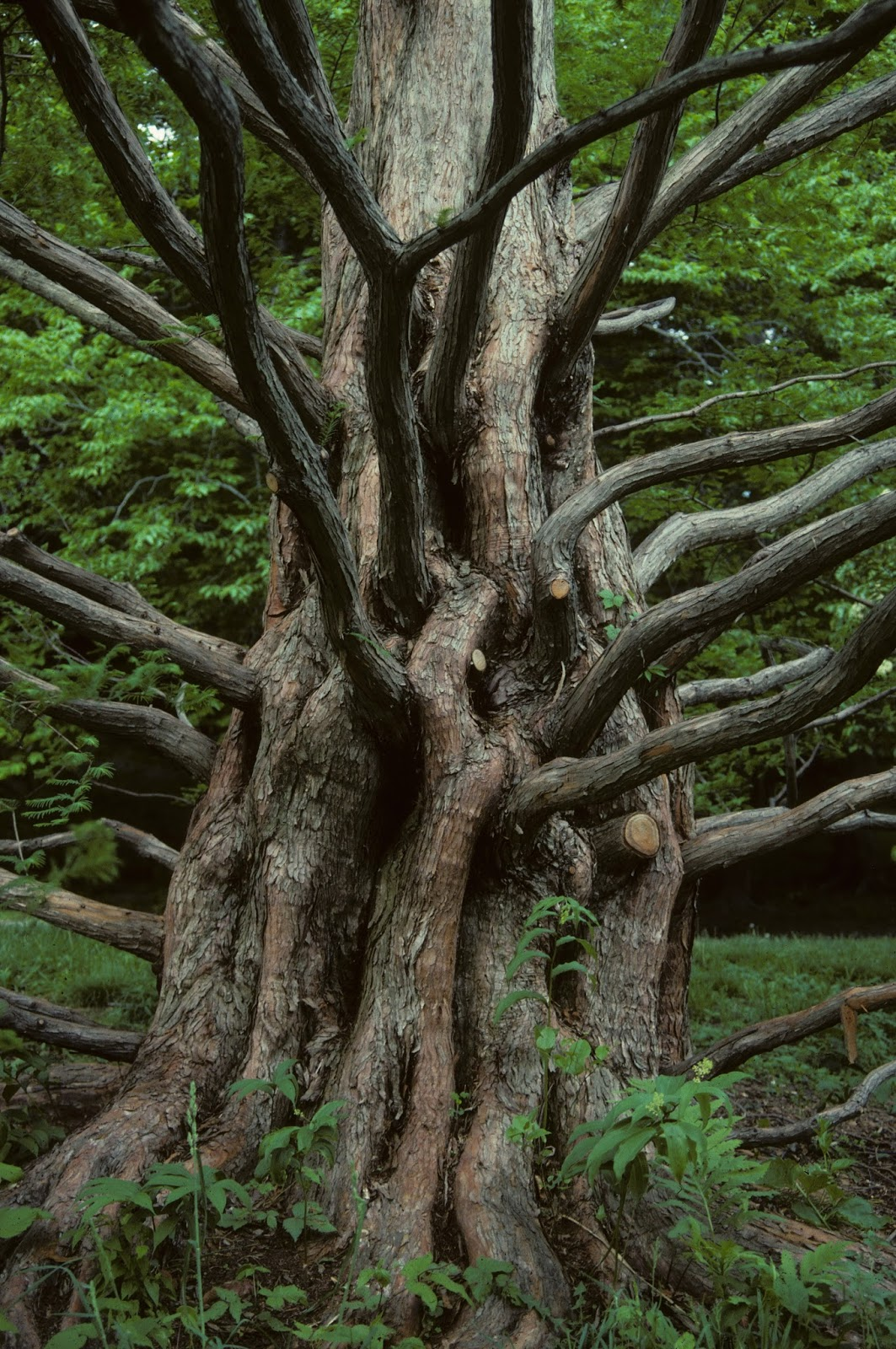 Wood From Trees ~ Trees planet metasequoia glyptostroboides dawn redwood
