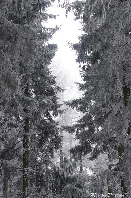 forêt de conifères sous la neige