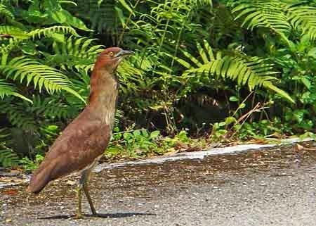 bird,endangered species,Japanese Night Heron,Okinawa