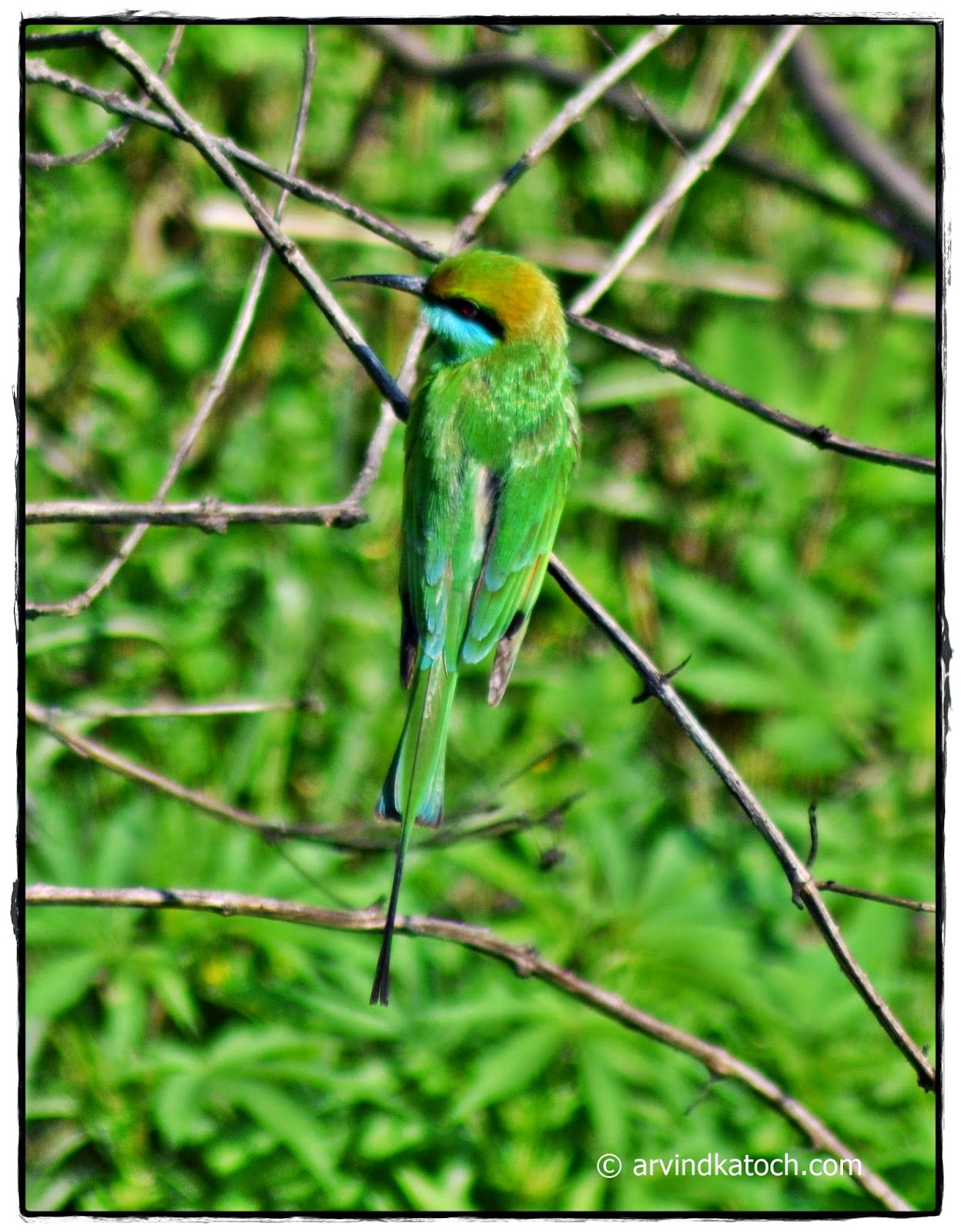 Green Bee-eater, Bird, Top,