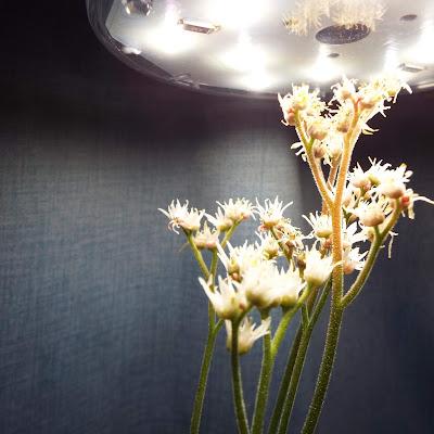丹頂草の花