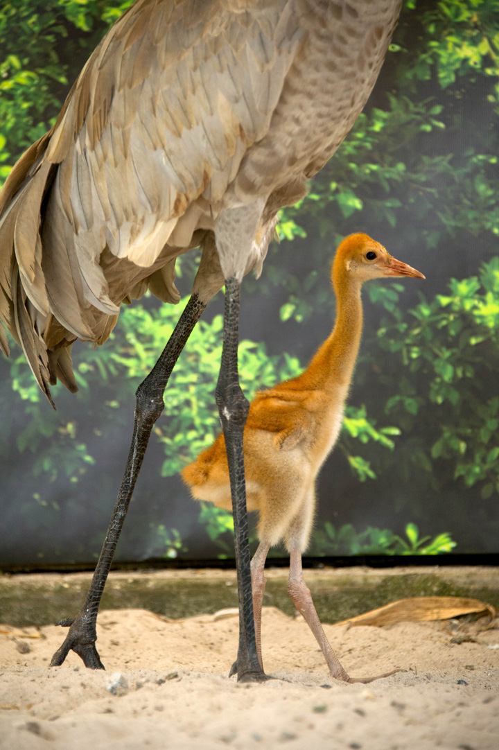 Baby Animals: Crane Chicks 6