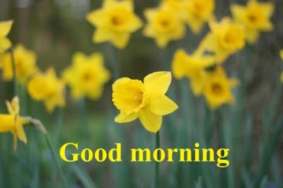 good morning images with flowers for husband wife - Daffodil flowers