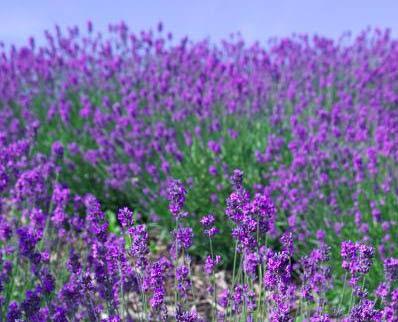 bunga lavender tanaman hias pengusir nyamuk alami