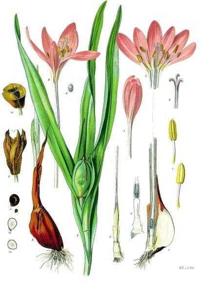 Hình Tỏi Độc - Colchicum autumnale - Nguyên liệu làm thốc Có Chất Độc