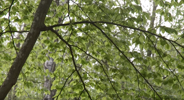 A la découverte du hêtre, roi des forêts