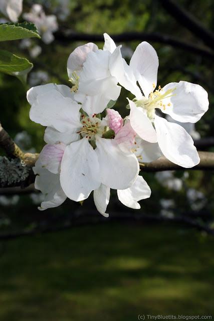 The Flowering Apple Tree