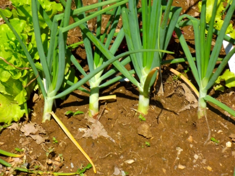 Onion Garden Culture: