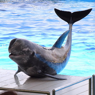 risso's dolphin interesting facts
