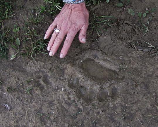 Czyżby niedźwiedź przechadzał się gdzieś w pobliżu?