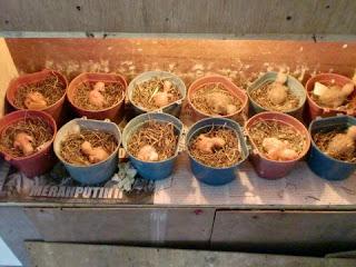 Cara Meloloh Lovebird Anakan Love Bird Umur 7 30 Hari Jakarta Farm Com Jual Thermostat Murah Harga Thermostat Kapsul Fungsi Thermostat Mesin Tetas