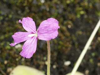 Grassette de Moran - Pinguicula moranensis - Pinguicula rectifolia