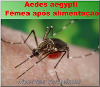 Foto mostrando a foto de um mosquito Aedes aegypti fêmea, após ter picado e sugado o sangue de uma pessoa.