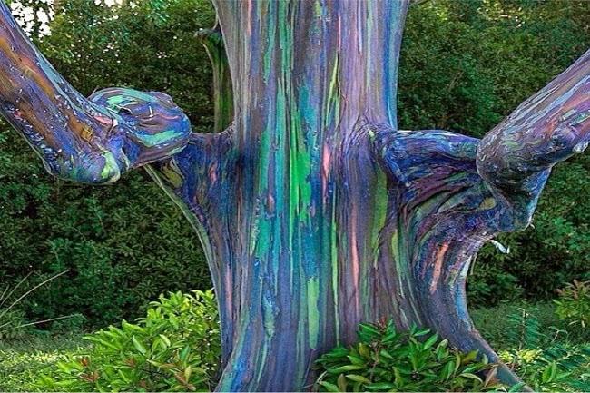 Rainbow Eucalyptus Trees In Kailua Hawa