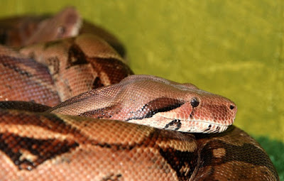 Boa Constrictor in thought