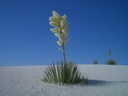 new mexico state flower, yucca glauca