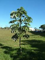 #Embaúba, Planta do Gênero Cecropia