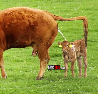 epic fail mother cow urinating on stupid baby funny