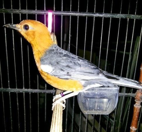 merupakan salah satu burung petarung yang sering memenangi  Tips Agar Burung Anis Merah Cepat Teler Gacor