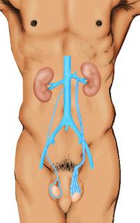 vena-kiri-testis-dari-ginjal-kiri-lebih-panjang