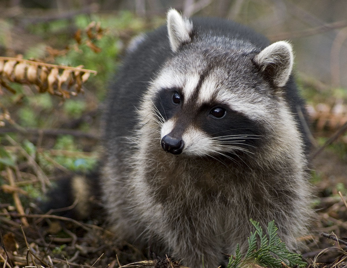 Raccoon Wallpapers - Pets Cute and Docile