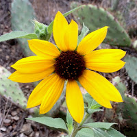 Common sunflower (Helianthus annuus) along Fish Canyon Trail, Angeles National Forest