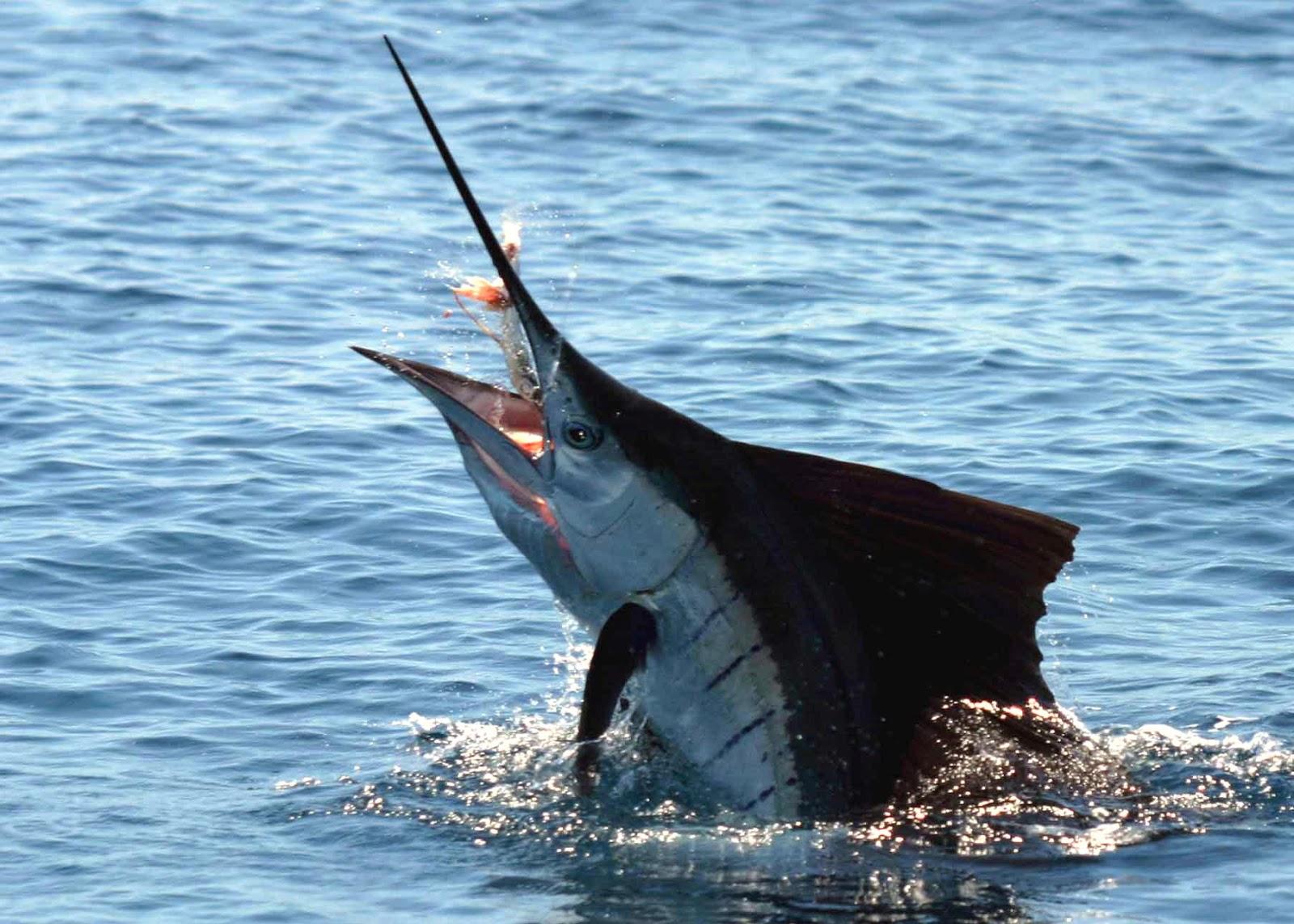 Billfish | Life of Sea