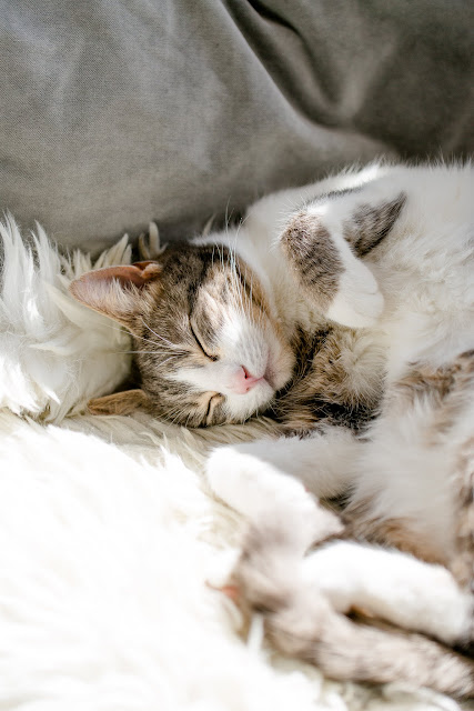 a catlife, Katzenportrait, Pomponetti
