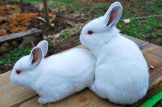 fakta kelinci