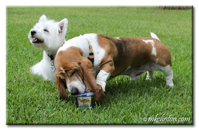 Bentley Basset trying to open Evanger's Beef Lungs container while Pierre Westie appears to be laughing