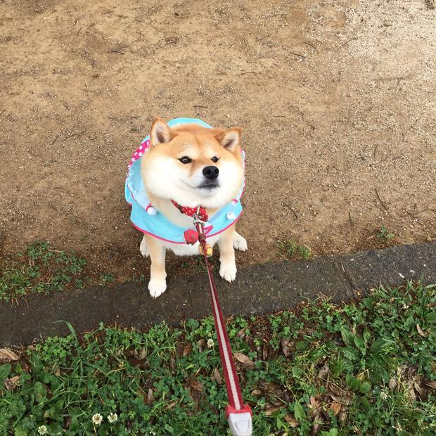 Nàng cún Shiba lầy lội: đã ra đường là không bao giờ chịu về nhà