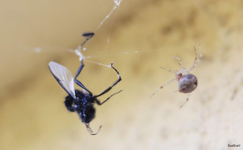 Araignée crabe et Mouche asilide