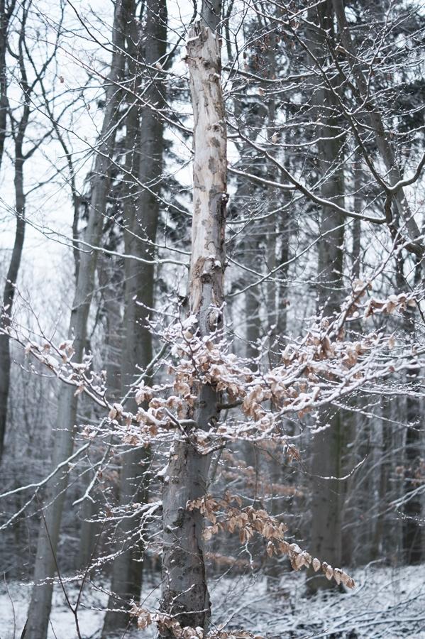 Blog + Fotografie by it's me! - Draussen - Frau Frieda sucht Schnee, verschneiter Baumstumpf mit vertrocknetem Laub