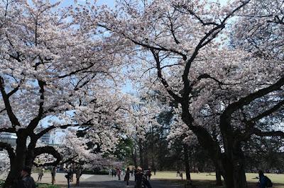 Cherry Blossom season at Shinjuku Gyoen Tokyo Japan