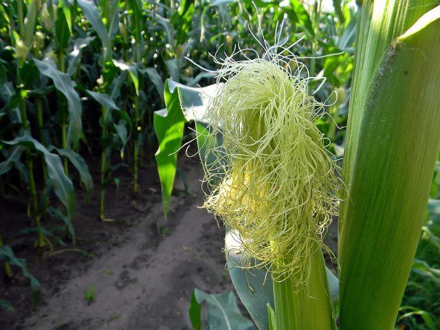 kukurydza, rośliny zbożowe, liście, kolby