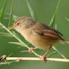 Beberapa Penyebab Dan Cara Mengatasi Burung Ciblek Sering Cabut Bulu