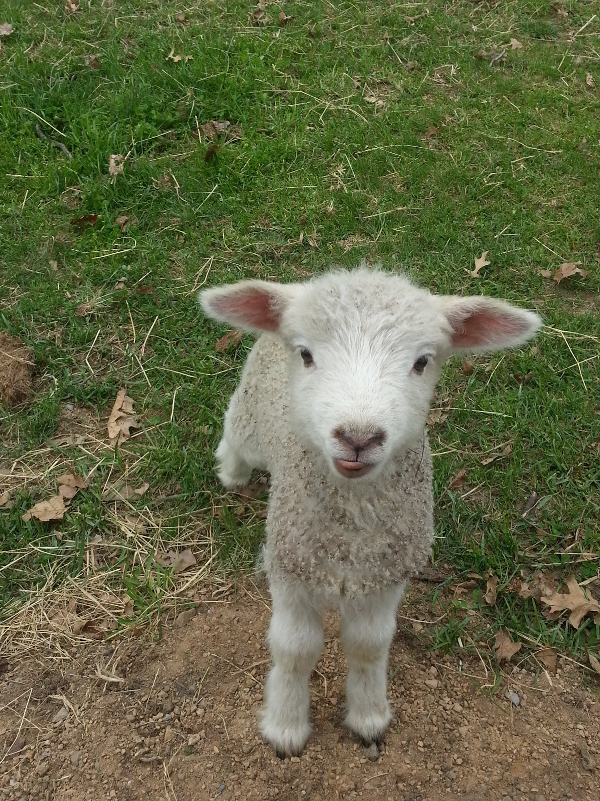 Frontier Culture Museum of Virginia: More baby lambs!
